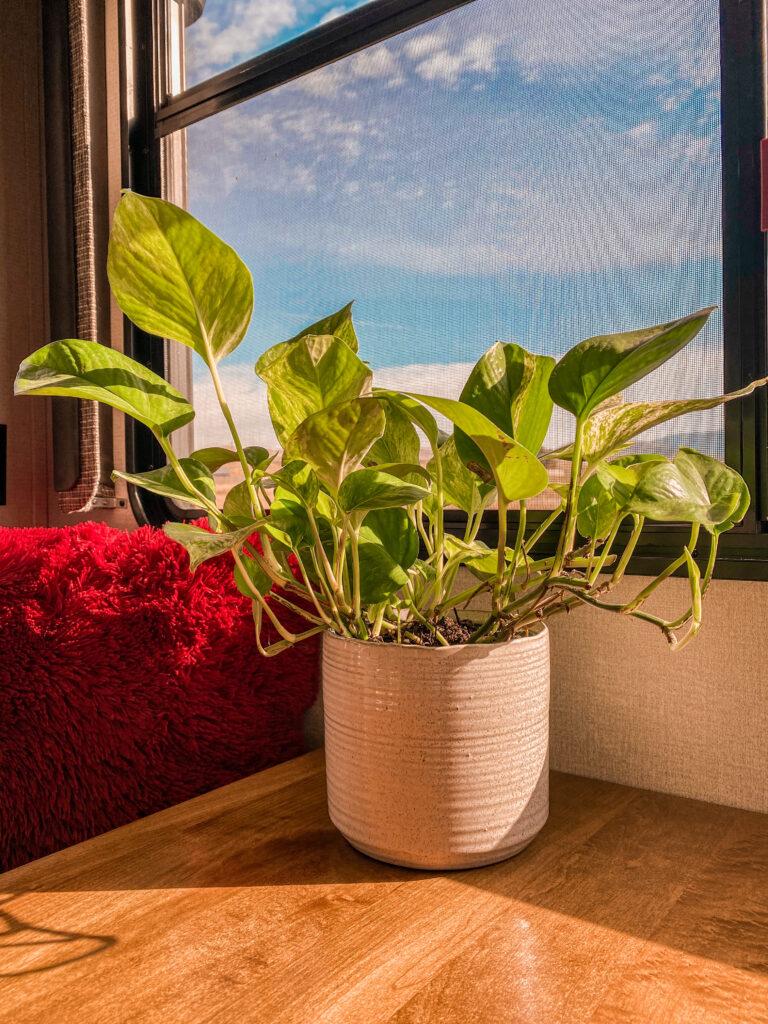 pothos plant in cream pot on table