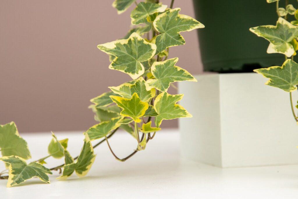 Devil's ivy trailing plant