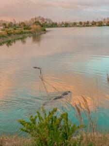 alligators swimming in lake