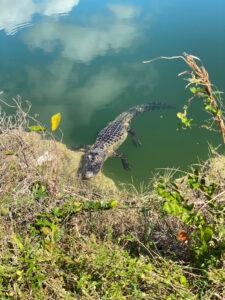 Alligator at campsite