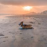 Corgi laying on the beach at sunset