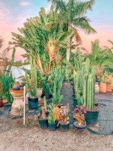 Large cacti and palm trees at cacti farm