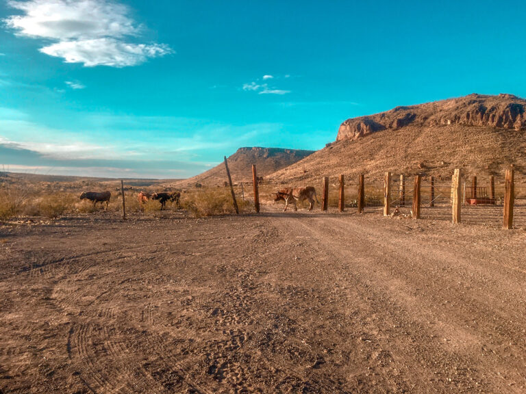 Long horns in Big Bend Ranch state park