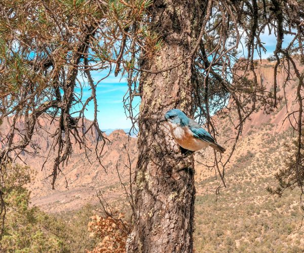 bluebird sitting in a tree with mountains in background