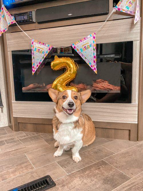 Corgi 2nd birthday